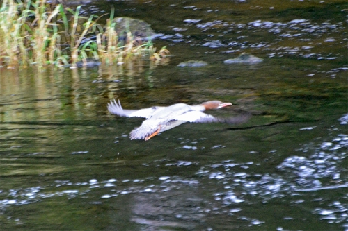 flying goosander