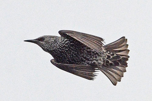 flying starling close