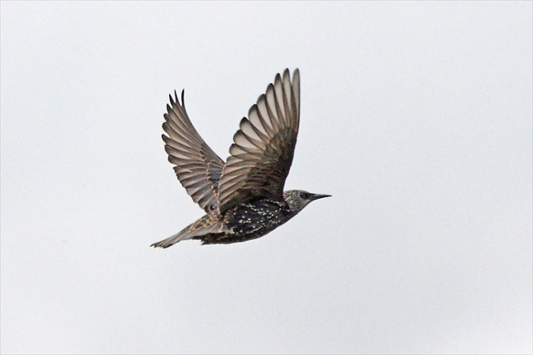 flying starling