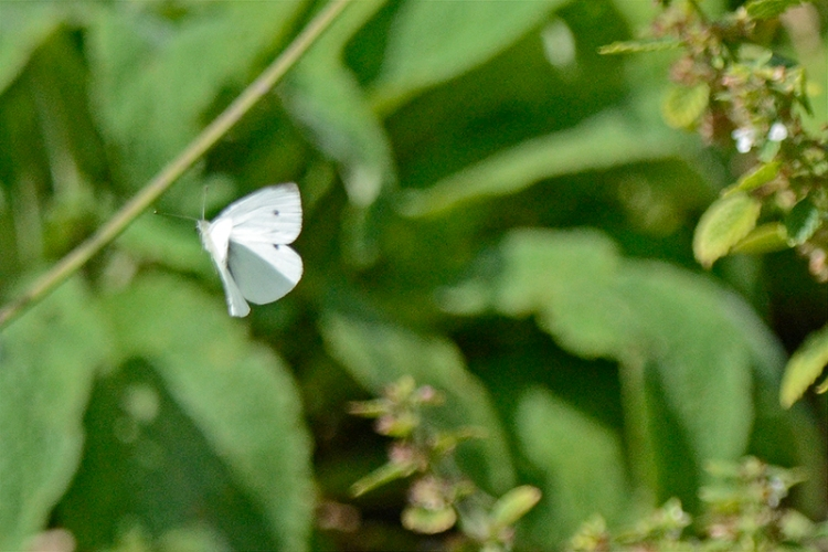 flying white butterfly