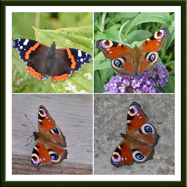 four butterflies getting warm