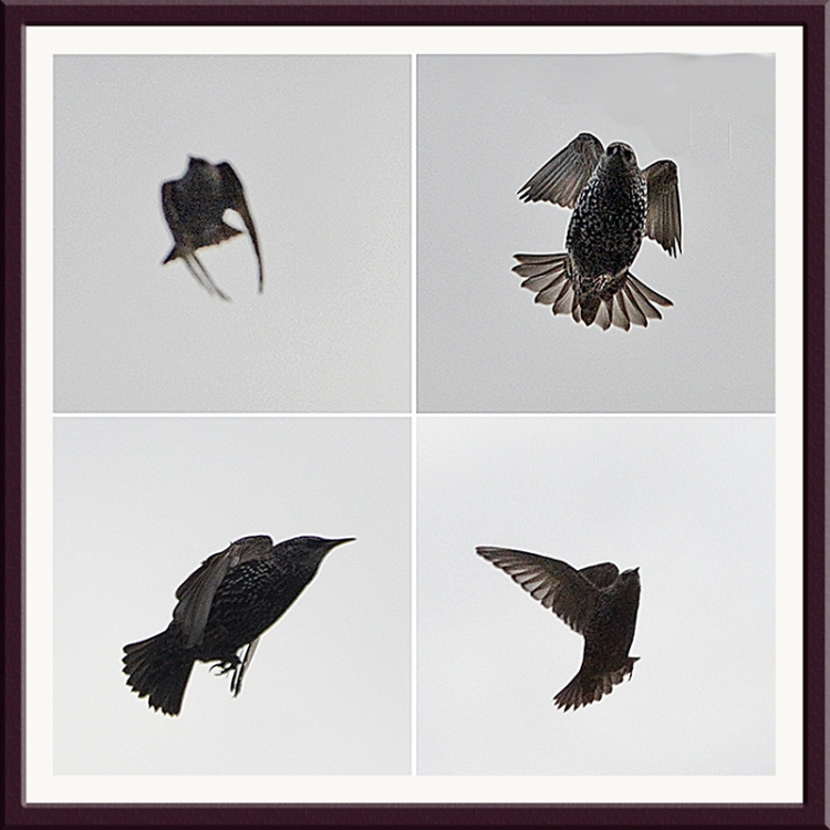 four flying starlings