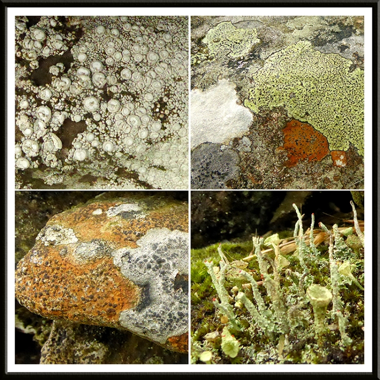 four lichens on wauchope road wall