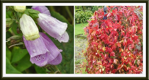 foxglove and creeper