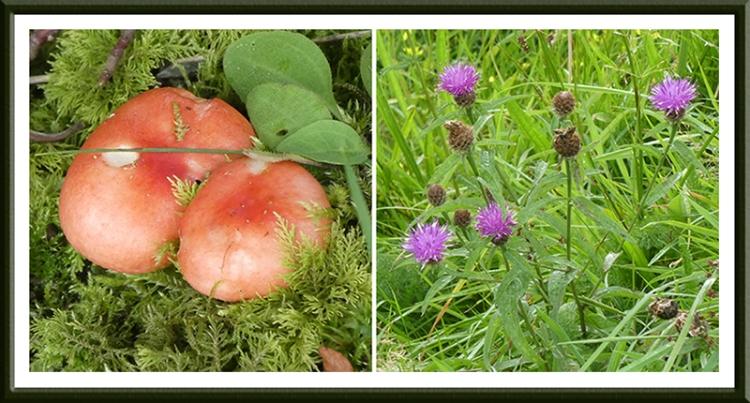 fungus and knapweed meikleholm