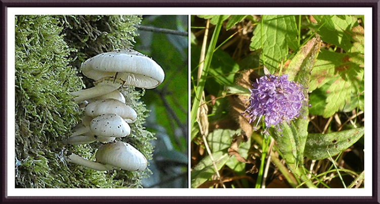 fungus and scabious