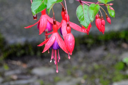 fuschia end of Sept