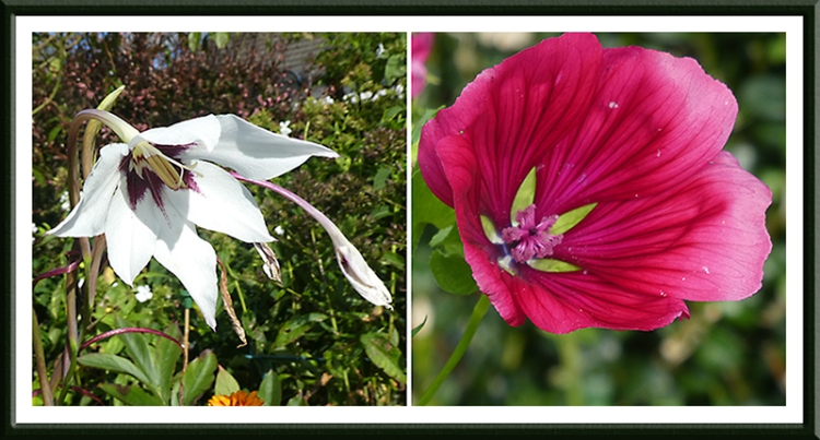 galdiolus and mallow