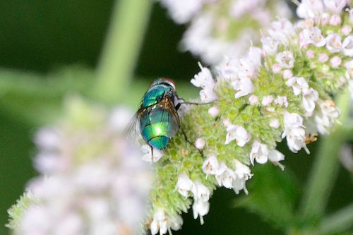greenbottle on mint