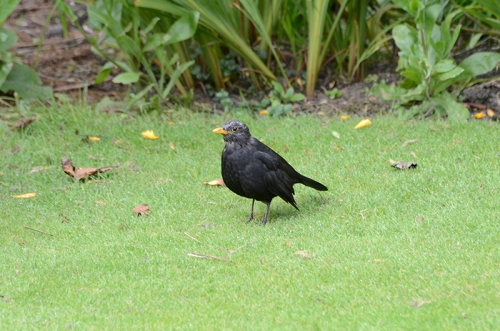 grey headed blackbird