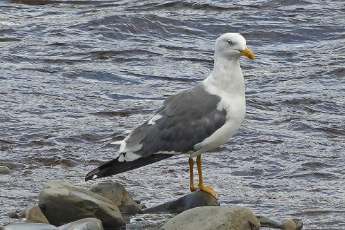 gull on rock
