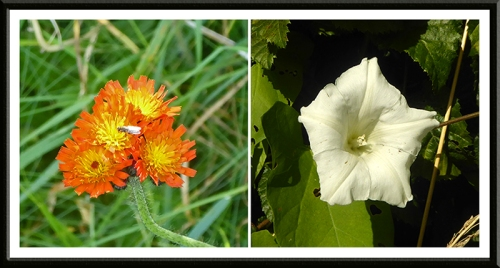 hawkweed and convolvulus