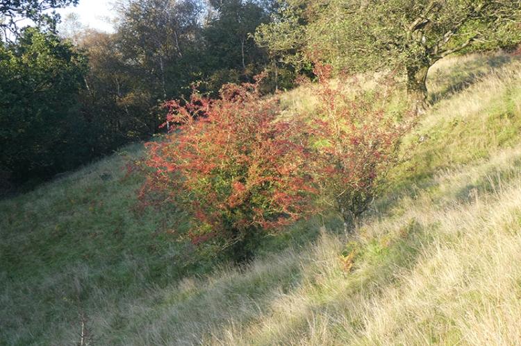 hawrthorn berries