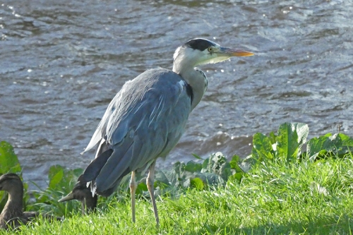 heron on kilngreen