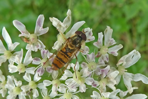 hoverfly on umbel