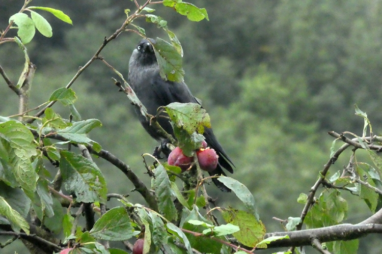 jackdaw at the plums