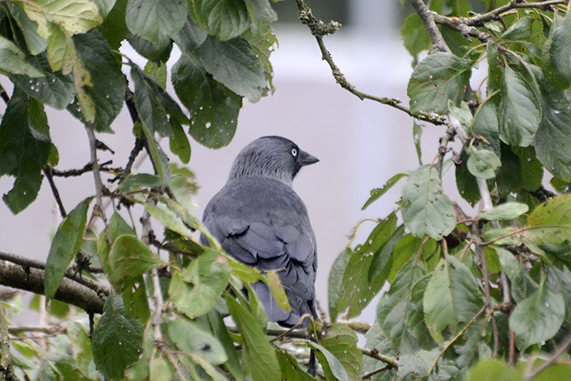 jackdaw in plum tree