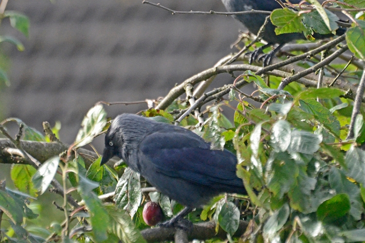 jackdaw on plums