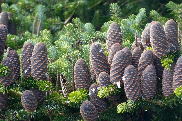 korean pine cones