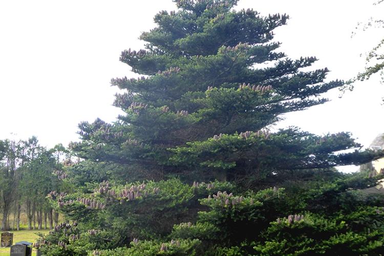 korean pine tree Half Morton