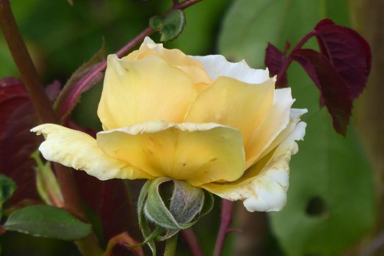 margareta rose