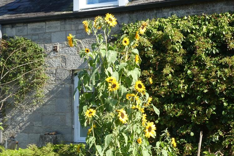 massed sunflowers