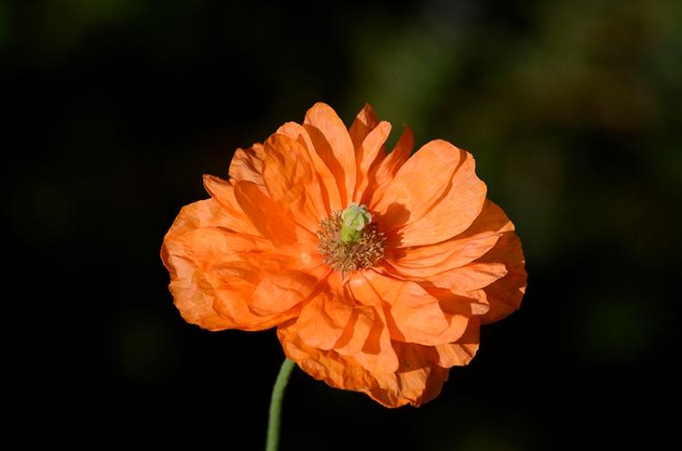 morning icelandic poppy