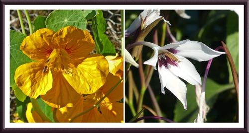 nastutium and gladiolus