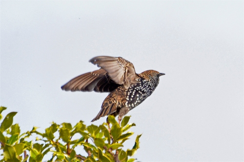 nearly flying starling