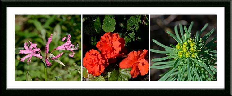 nerine, begonia, euphorbia