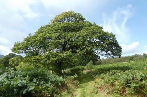 oak on path to Broomholmshiels