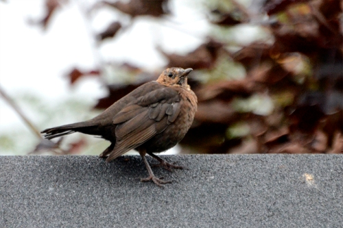 odd looking blackbird