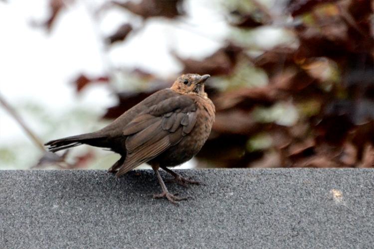 odd looking blackbird