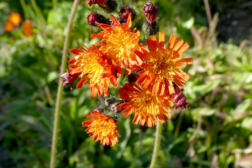 orange hawkweed sept