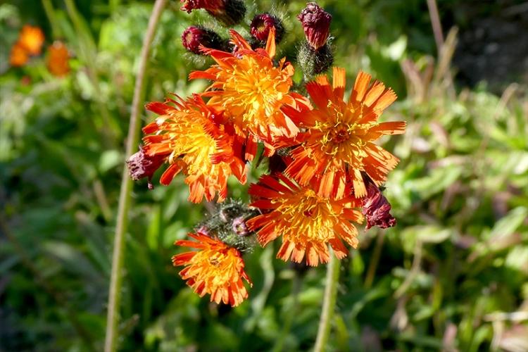 orange hawkweed sept