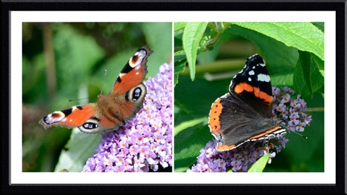 peacock and red admiral on buddleia