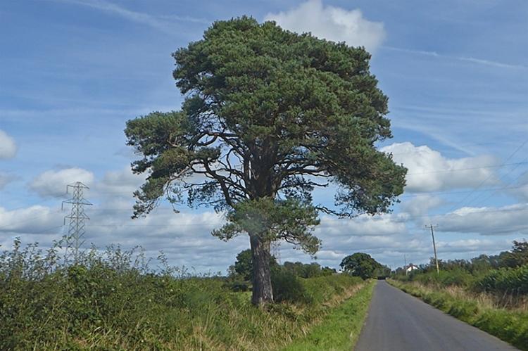 pine tree 2 harker