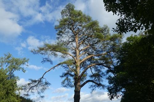 pine tree castleholm
