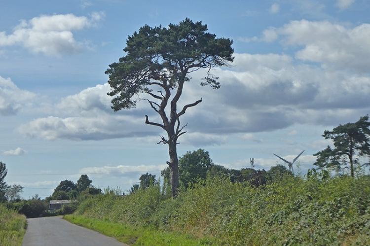 pine tree harker
