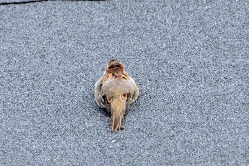 plump young sparrow