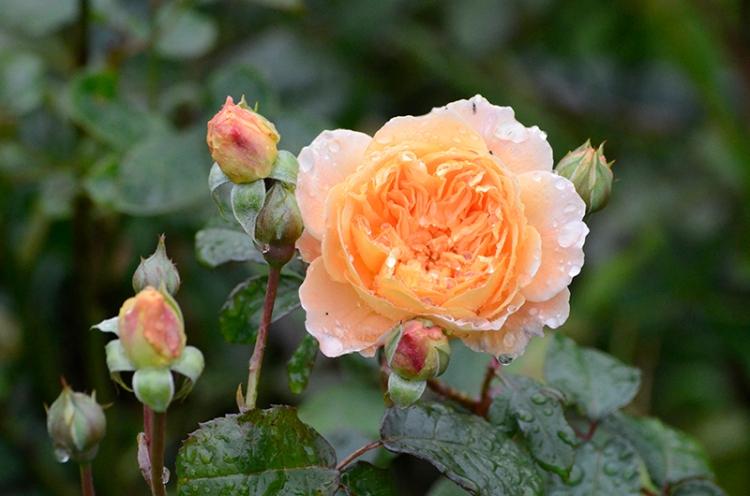 pm princess margareta rose