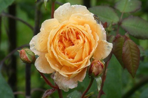 Princess margareta rose