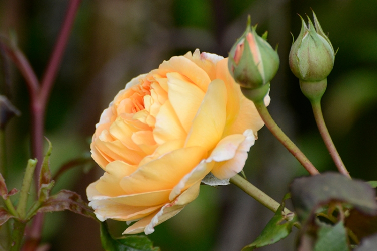 princess margareta rose