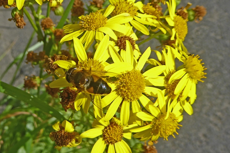 ragwort and insect