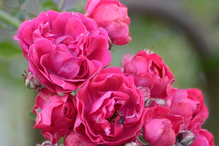 rambler rose late flowers