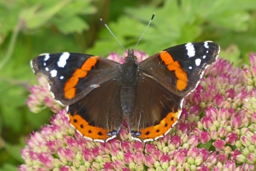 red admiral butterfly on sedum