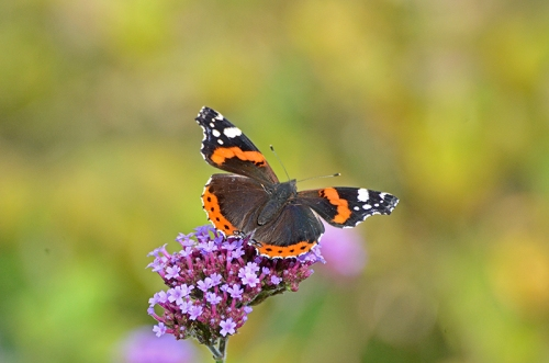red admiral butterfly on verbena