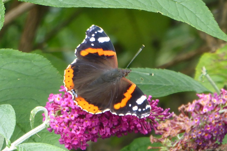 red admiral september