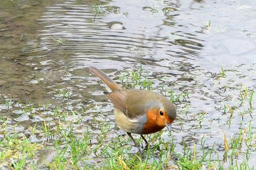 robin near puddle