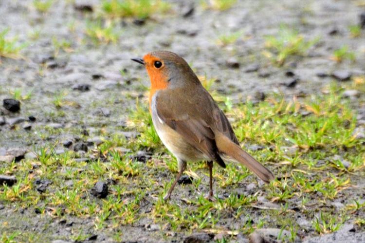 robin on drive
